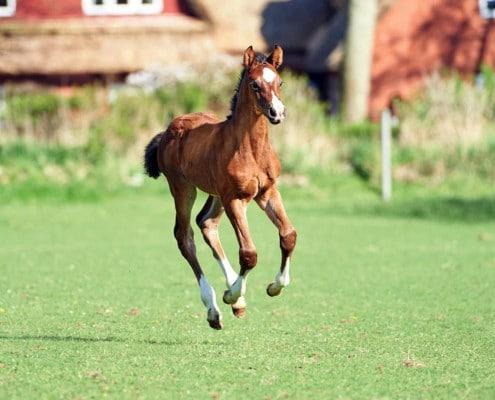 foal sandro boy (2)